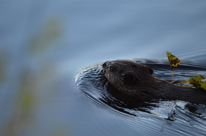 Beaver swimming with twig