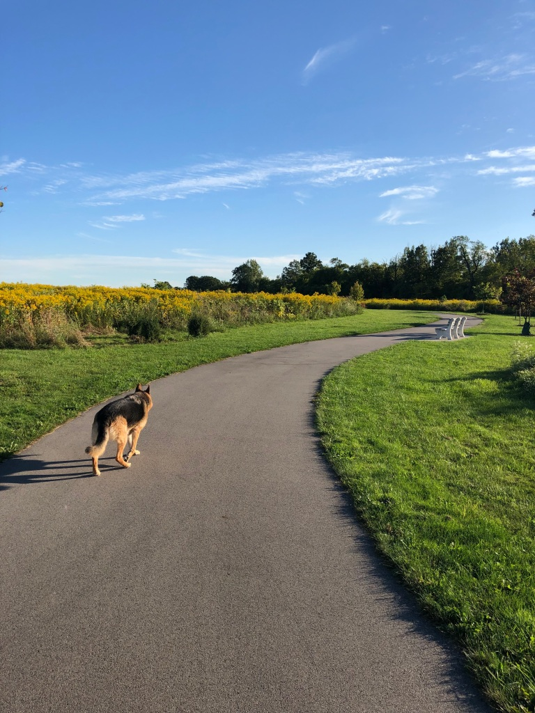 A dog walks along a winding path beside a field.