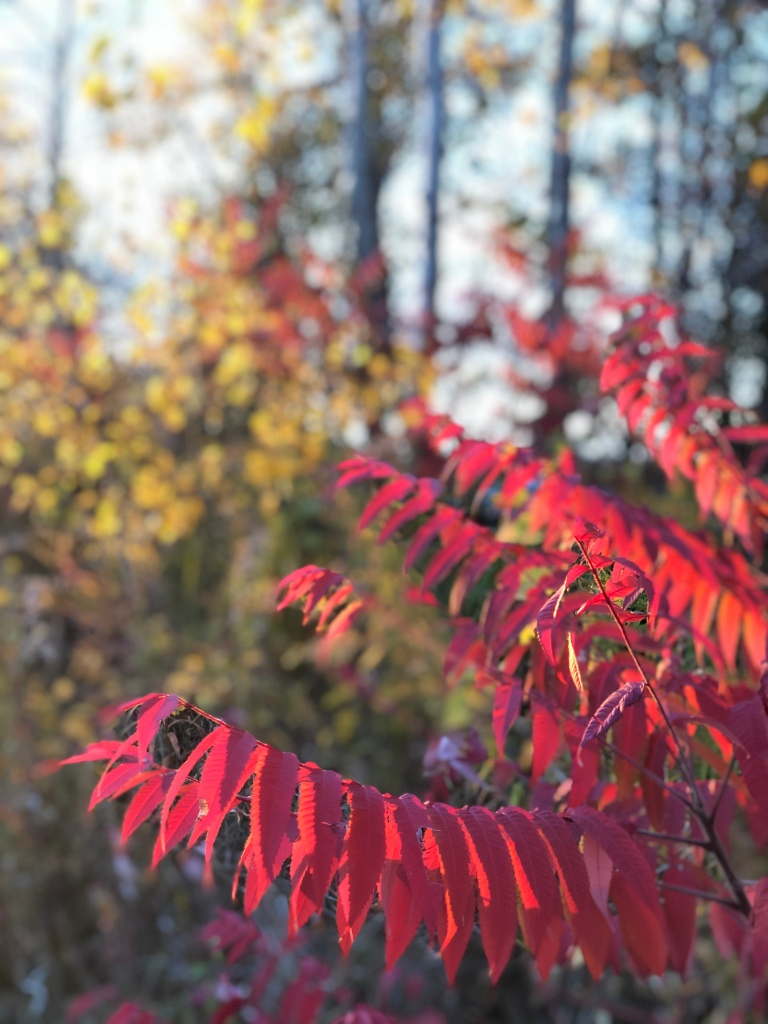 Leaves changing to bright fall colours